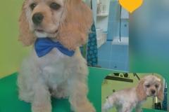 Malá úprava 4 měsíční štěně Amerického kokršpaněla ...... Před i Po